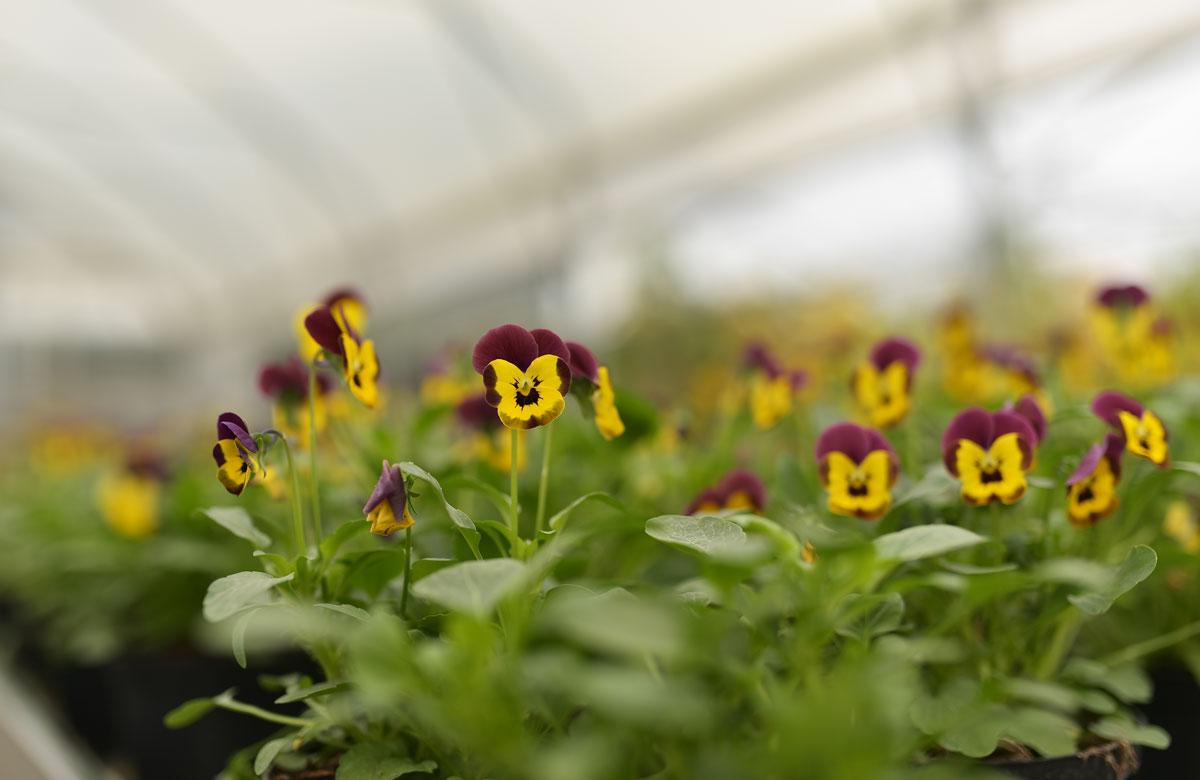 Vrtnartvo Matko okrasno cvetje